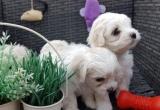 4 sveiki Maltos šuniukai - vyrai ir moterys